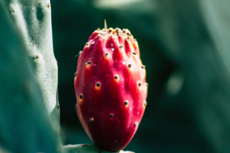 Close-up of strawberry on cactus