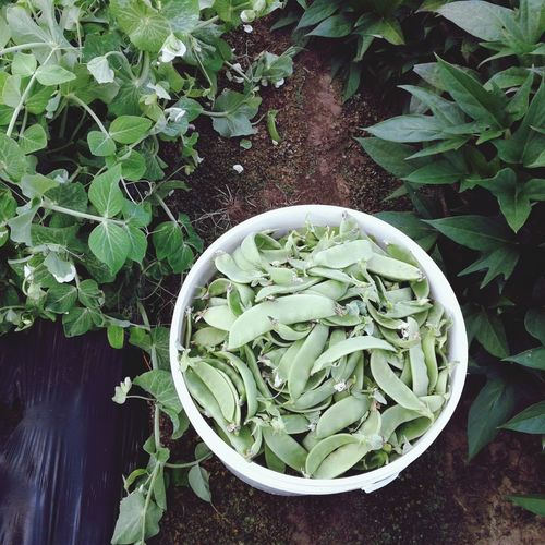 Snow Peas Leaf Healthy Lifestyle Directly Above Vegetable Bowl High Angle View Raw Food Organic Close-up Plant