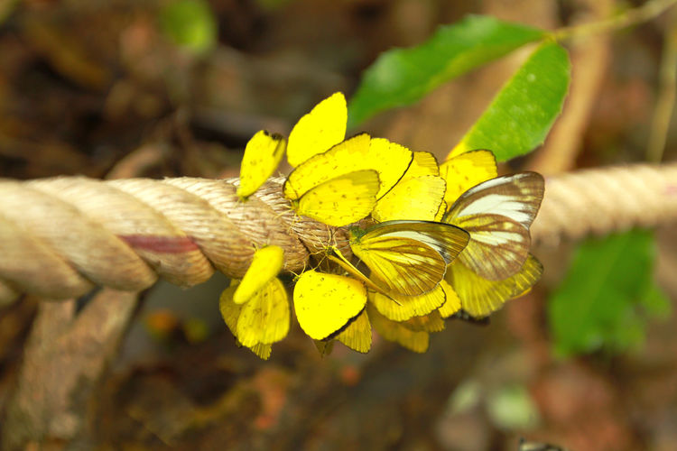 Many yellow butterfly on the long rope with waterfall background (Amathusiidae) Amathusiidae Beatiful Rope Animal Themes Animal Wildlife Animals In The Wild Beauty In Nature Butterfly - Insect Close-up Focus On Foreground Insect Nature No People Wallpaper Yellow Butterfly Paint The Town Yellow