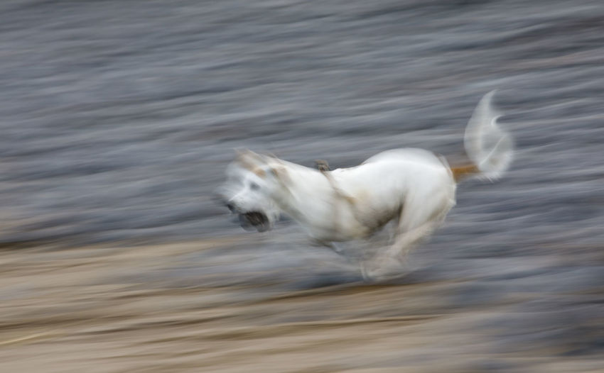 White horse running in a water