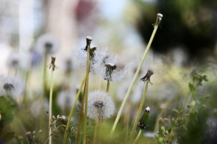 Dandelion on land
