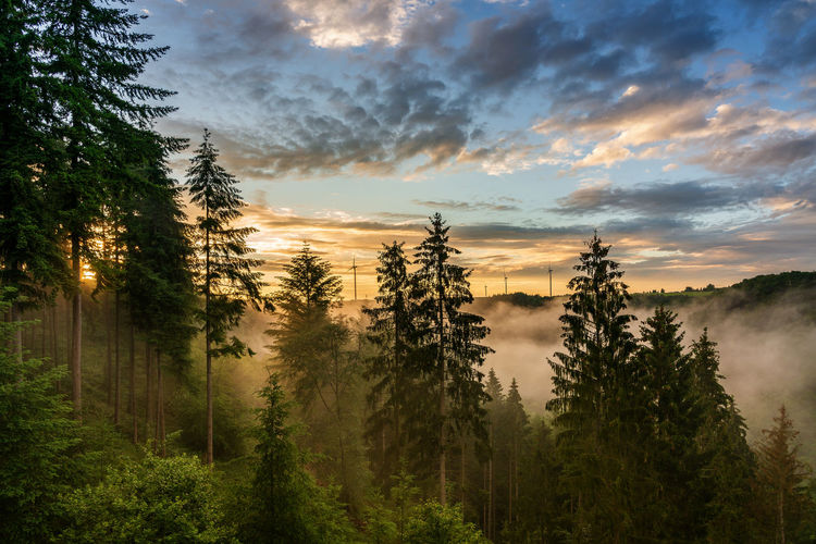 Pine trees in forest against sky during sunrise