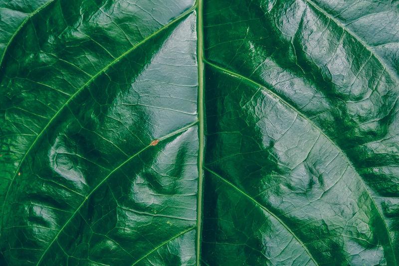 Backgrounds Beauty In Nature Freshness Full Frame Green Color Leaf Leaf Vein Natural Pattern Nature Plant Plant Part พืนหลัง พื้นหลังใบไม้ ลายใบไม้ สีเขียว ใบไม้ ใบไม้สีเขียว 樹葉 綠葉 葉 青葉