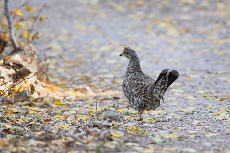 Dusky grouse on the path Autumn Animal Bird Outdoors Animal Wildlife No People Animals In The Wild Wildlife Grouse Dusky Grouse Blue Grouse Utah Dixie National Forest Game Bird Birds Nature Animal Themes Animals In The Wild