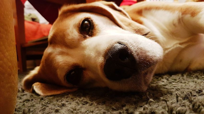 EyeEmNewHere EyeEm Best Shots EyeEm Nature Lover Moritz View Müde Sein Dog Pets One Animal Domestic Animals Animal Themes Mammal Looking At Camera Portrait Lying Down No People Close-up Day Beagle Indoors