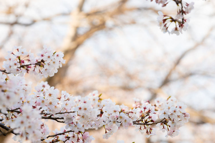 Cherry blossom in spring for background or copy space for text Plant Tree Fragility Flowering Plant Freshness Flower Blossom Vulnerability  Branch Springtime Cherry Blossom Beauty In Nature Nature Growth Pink Color Close-up Day Outdoors No People Focus On Foreground Cherry Tree Flower Head Softness