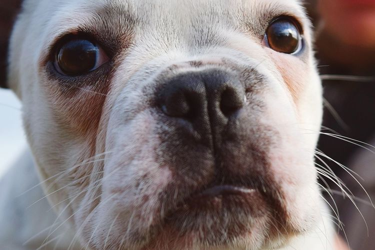 Bijou. Frenchbulldog One Animal Looking At Camera Dog Animal Head  Close-up Portrait Animal Outdoors Dogslife Get Closer Bokeh Dog Of The Day Dogs Of Autumn Dogs Of EyeEm Dogwalk Domestic Animals Animals In The Wild