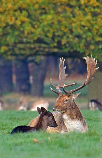 Deer relaxing on grassy field at richmond park