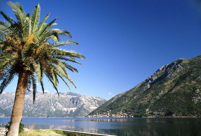 Adriatic Sea Bay Of Kotor Boka Kotorska Fiord Kotor Kotorska Kotorska Bay Montenegro Palm Palm Tree Travel Destinations Tree