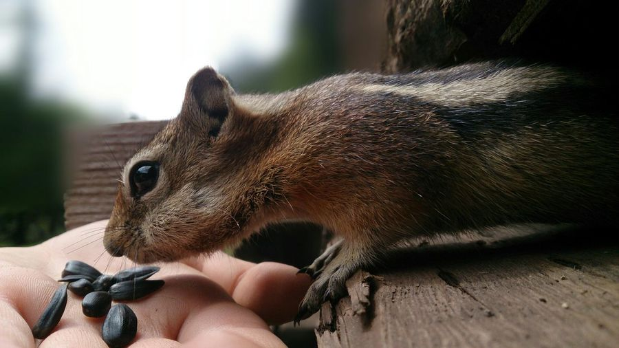 Side View Of Chipmunk Smelling Seeds
