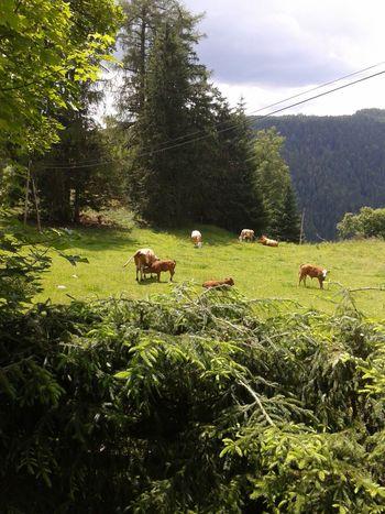 Alm Almhütte Kühe Tiere Tiere/Animals Tiere♡ Urlaub ❤ Urlaubserinnerungen Urlaubsreif Urlaubsstimmung