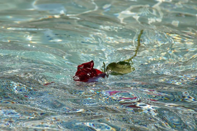 Artistic Photo Of A Rose Beauty In Nature Rose - Flower Rose And Colours Rose In Pool Rose In Water Rose In Water Pool Trevi Fountain