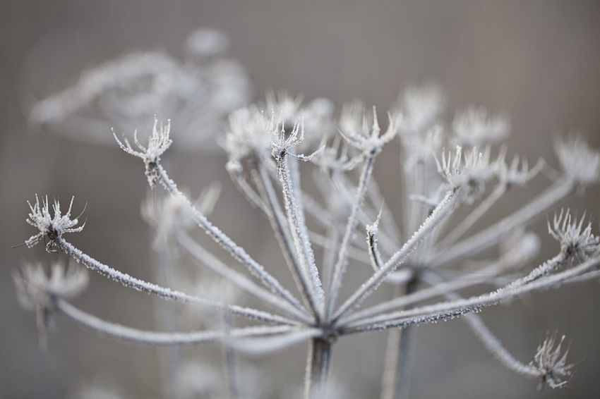 Chervil or cow parsley in winter with hoarfrost Cow Parsley Hoarfrost Chervil Cold Hoarfrost On Plant Season
