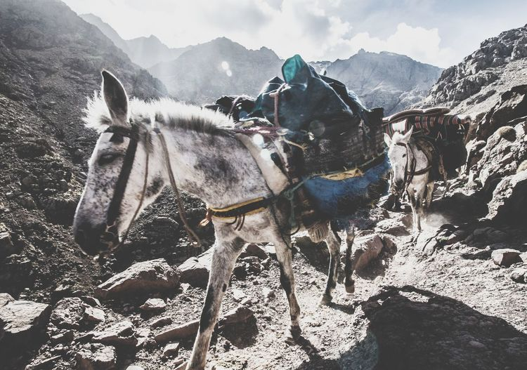 Horses carrying materials on mountain