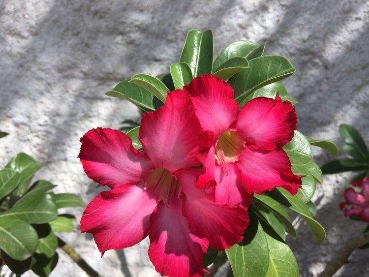 Flowers,Plants & Garden Flower Desertflower Nature Taking Photos Hi! Flower Photography