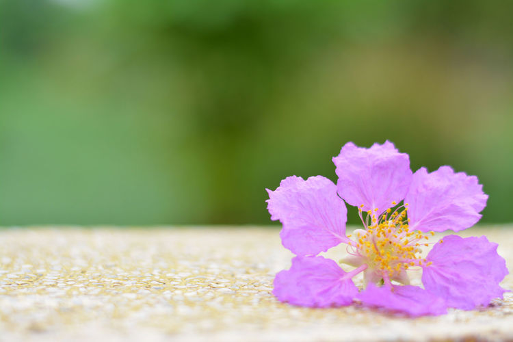 Plant Flowering Plant Flower Freshness Vulnerability  Selective Focus Fragility Beauty In Nature Close-up Nature No People Growth Petal Inflorescence Flower Head Green Color Day Outdoors Land Field Purple Violet Lagerstroemia Floribunda Lagerstroemia Floribunda