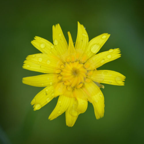 Wet yellow dandelion Photography Dandelion Macro Photography Flower Yellow Petal Flower Head Fragility Freshness Nature Beauty In Nature Macro Blossom Green Color Close-up Beauty