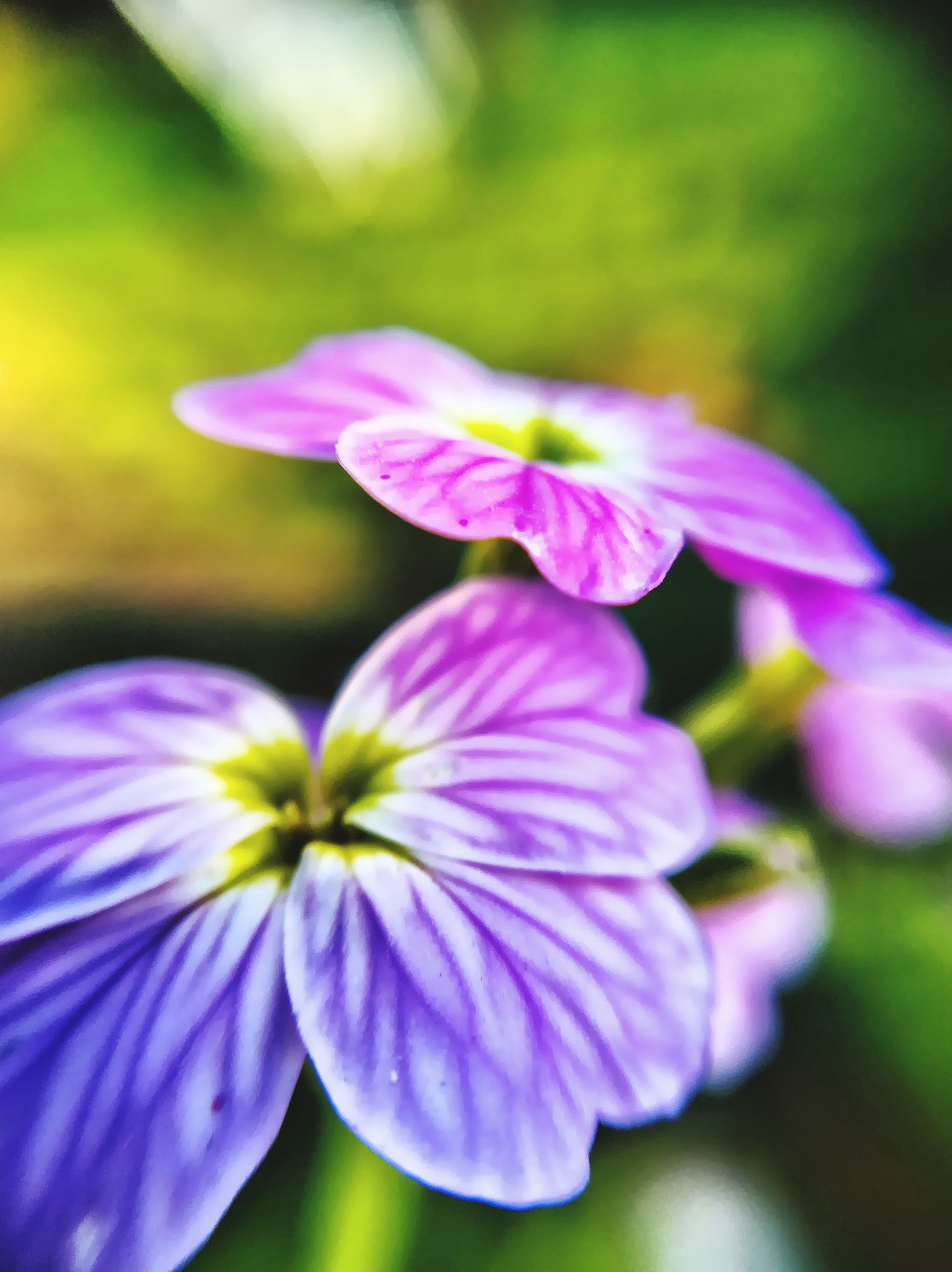 flower, petal, freshness, fragility, growth, flower head, purple, close-up, beauty in nature, focus on foreground, nature, selective focus, blooming, in bloom, plant, blossom, stamen, botany, pollen, springtime
