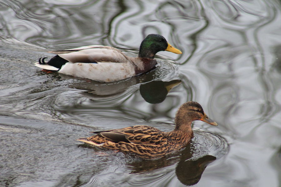 Ducks Water Koppel Inlove Sweet Cute
