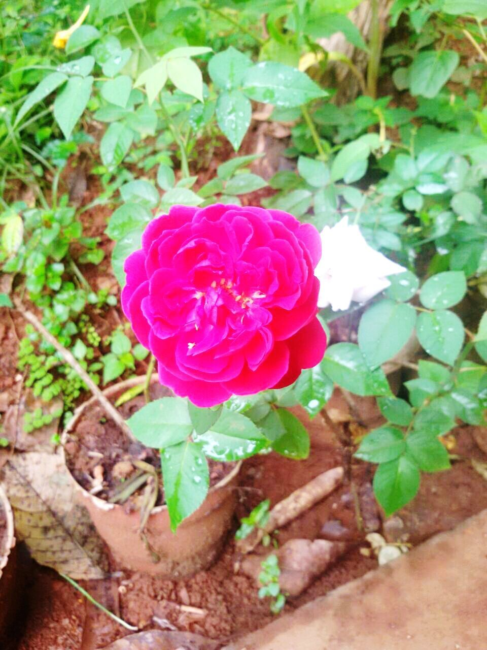 flower, petal, growth, nature, fragility, plant, rose - flower, freshness, beauty in nature, pink color, no people, flower head, outdoors, leaf, blooming, close-up, day