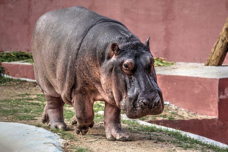 Hippopotamus Walking On Field