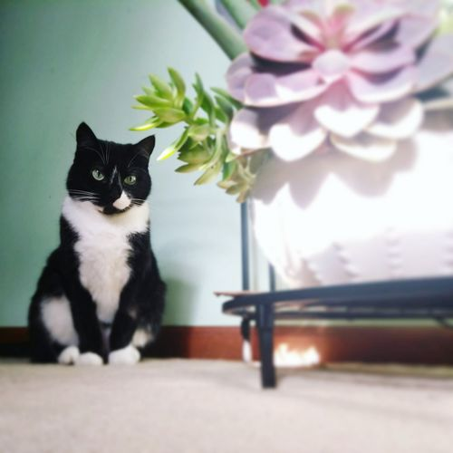 Stella and Succulents Pet Portraits Pet Photography  Succulent Plant Animal Themes Animal Blackandwhite Flower Pets Sitting Feline Portrait Domestic Cat Table Kitten Cat Whisker Young Animal At Home
