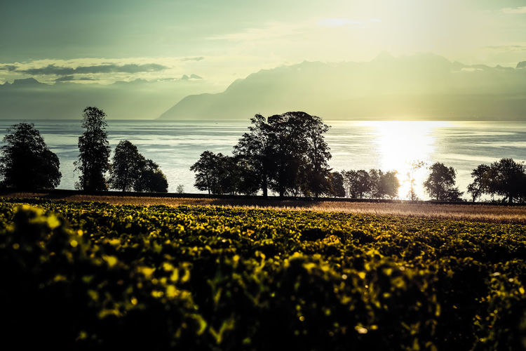Trees Agriculture Beauty In Nature Cloud - Sky Day Freshness Lake Landscape Nature No People Outdoors Plant Sky Sunrise Switzerland Tranquil Scene Tranquility Vignes Vinyard Water Yellow