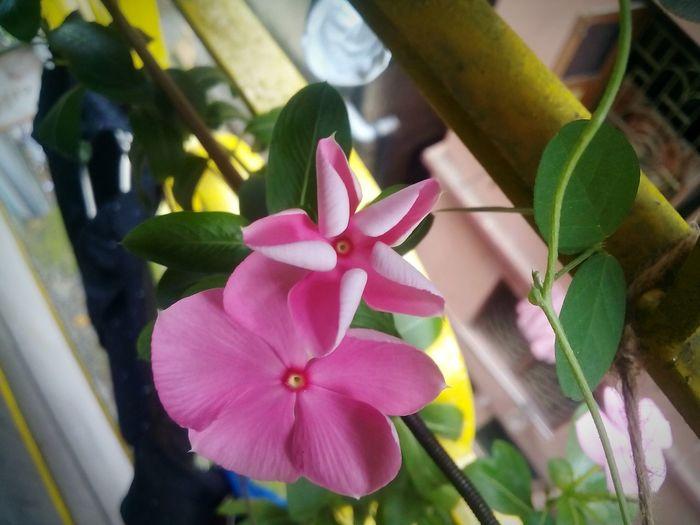 Flower Fragility Beauty In Nature Petal Flower Photography Pink Flower 🌸 Flowerlovers Flower Fantasy Flower Blooming Eyeemphotography