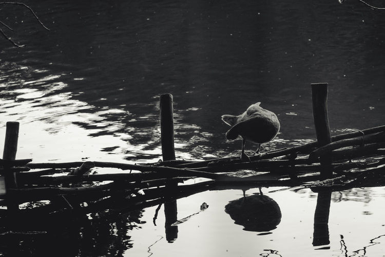 Animal Themes Animals In The Wild Bird Black & White Black And White Blackandwhite Day Duck Floating On Water Lake Nature No People Non-urban Scene Reflection Scenics Standing Water Tranquil Scene Tranquility Water Water Bird Water Surface Waterfront Wildlife Zoology