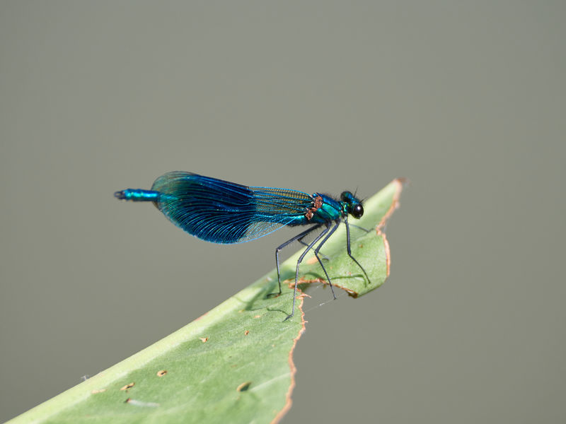 Beautiful Blue Demoiselle Demoiselle Animal Animal Eye Animal Themes Animal Wildlife Animal Wing Animals In The Wild Banded Demoiselle Blue Close-up Copy Space Damselfly Day Focus On Foreground Green Color Insect Invertebrate Leaf Nature No People One Animal Outdoors Plant Part