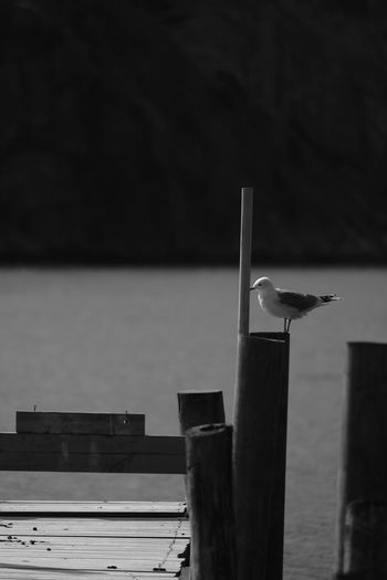 No People Outdoors Sea Water Seagull MAS Bird Fågel Brygga Sotenäs Xf100400 Nature X-t2 Taking Photos FUJIFILM X-T2 Eyeem Sweden Enjoying Life EyeEm Nature Lover XF100-400mmF4.5-5.6 R LM OIS WR Sverige Sweden Jetty Monochrome AcroS Blackandwhite