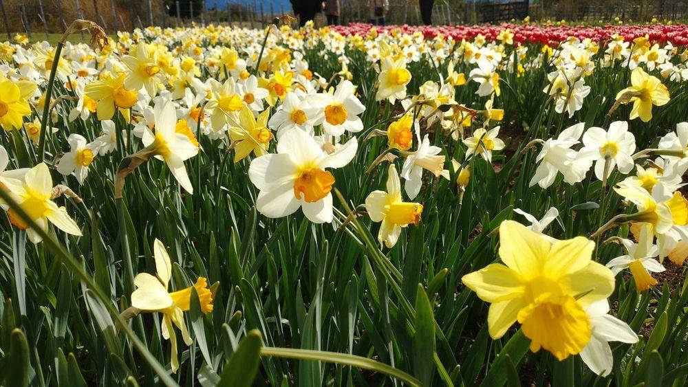 Spring Springtime Flower Narcisos Narcissus Flores Cultivo Primavera