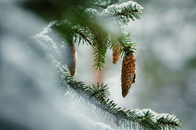 Close-up of pine tree with cones hanging during winter