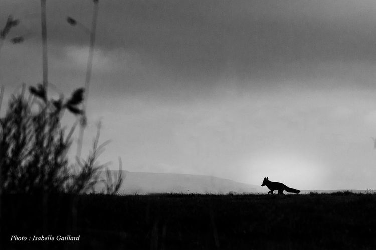 Little fox..... Animal Black And White Clear Sky Forest Fox Landscape Outdoors Wild