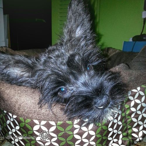 Our Kosmo! Schnauzer Dogoftheday Dog Dogs