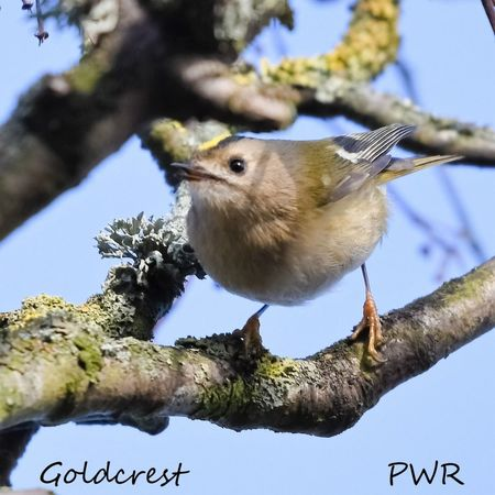 Goldcrest Beautiful Nature Birds Birding Beautiful Bird Animal Wildlife Eye EyeEm Best Shots EyeEm Gallery EyeEm Selects EyeEm Nature Lover EyeEmBestPics Moss & Lichen Bird Animal Wildlife Tree Animals In The Wild Branch Nature One Animal No People Perching Animal Themes Beauty In Nature Outdoors Blue Day Sky Close-up