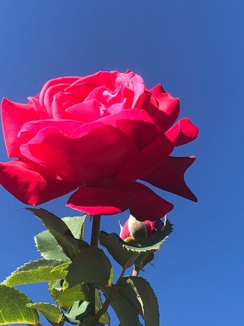 Rose Flower Flowering Plant Plant Red Beauty In Nature Nature Petal
