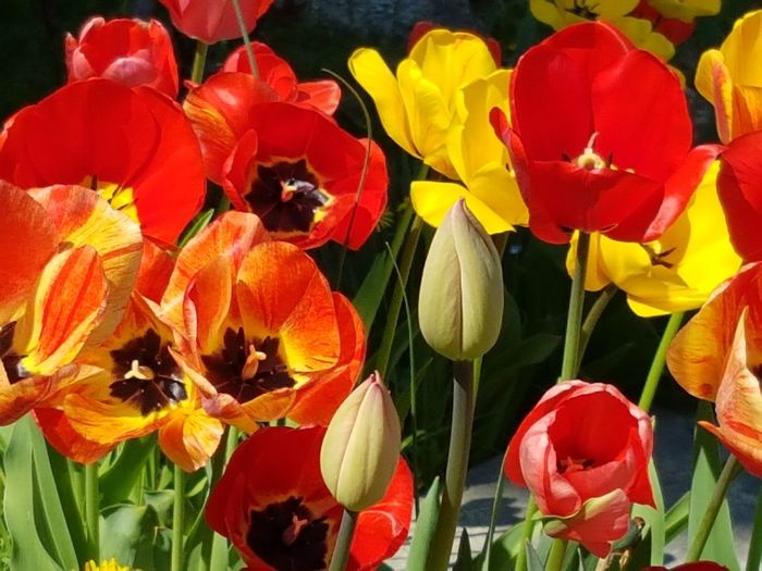 No Filter No People Hello World Tulips Flower Photography Tulips Flowers Tulips In The Springtime Flower Head Flower Red Yellow Springtime Petal Leaf Poppy Tulip Multi Colored Botany Plant Life Blossom Pistil