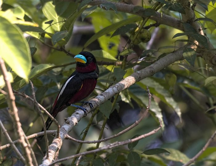 Black and Red Broadbill Animal Wildlife Animals In The Wild Vertebrate Bird Animal Animal Themes Perching One Animal Branch Tree Plant No People Focus On Foreground Day Nature Plant Part Leaf Outdoors Green Color Beauty In Nature