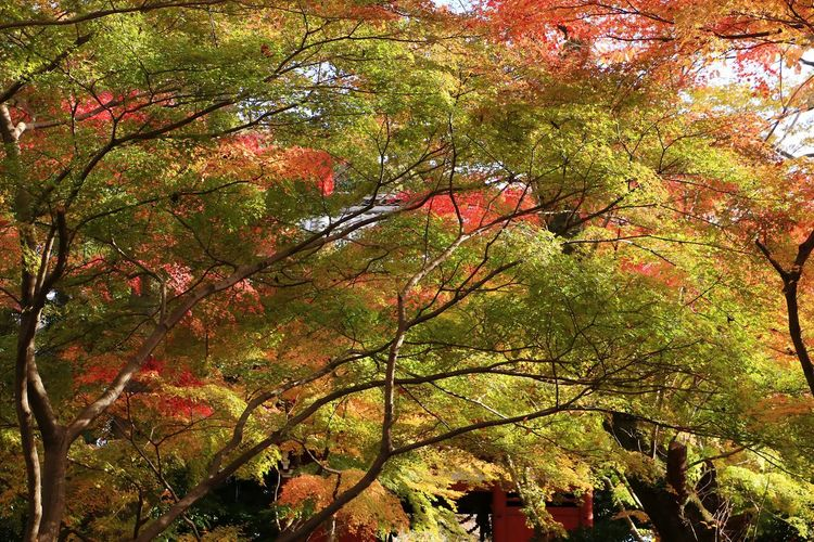 Nature Beauty In Nature Leaf Leaves And Colors Japanese Temple Autumn Leaves Japan Landscape Maple Leaf Green Red Color Tree Beauty In Nature Autumn Maple Tree