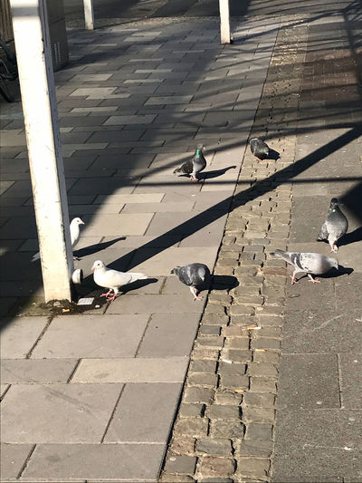 High angle view of pigeons perching on footpath