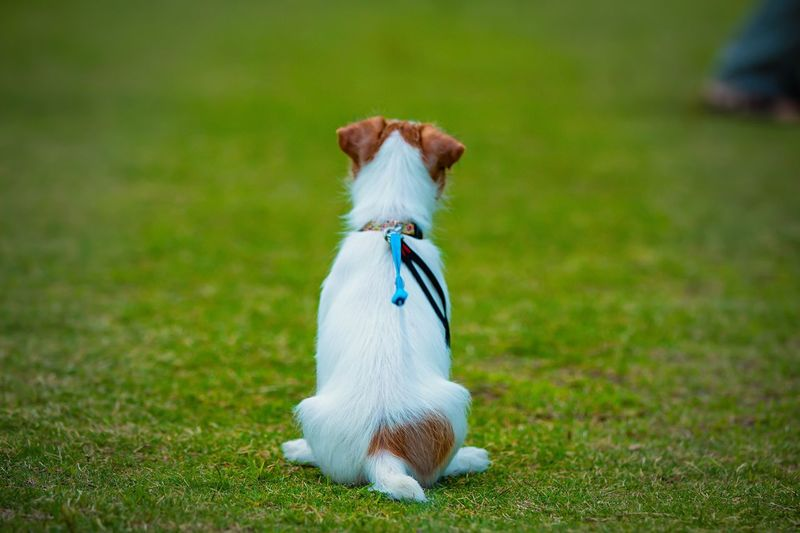 Bokeh Photography Bokeh Depthoffield Selective Focus Focus On Foreground Back Sight Kinoko Jack Russell Terrier Grass One Animal Plant Pets Domestic Animals Domestic Mammal Canine Vertebrate Dog Nature Green Color Field Land No People Full Length Day Outdoors Small
