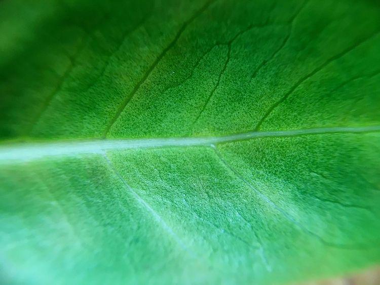 Leaves🌿 Green Color Green Close-up Beautiful Bonsai Ginseng Life Morning Amateurphotography IPhone SE Hungary Abda