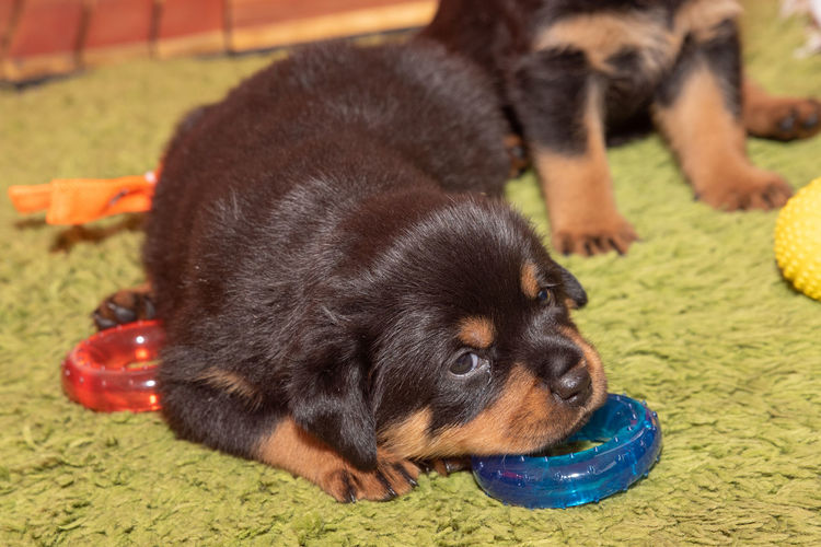 Adorable Purebred Rottweiler puppy posing indoors.One month old Rottweiler Photography Rottweiler Puppy Animal Animal Themes Black Color Bowl Canine Close-up Day Dog Domestic Domestic Animals Drinking Eating Focus On Foreground Mammal Nature No People One Animal Pets Puppy Vertebrate Young Animal