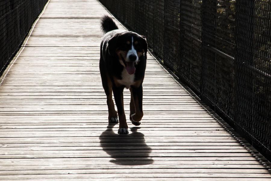 Bridge Brücke Dog Entlebuchermountaindog Gegenlicht Holzsteg Hund Spaziergang Light And Shadow