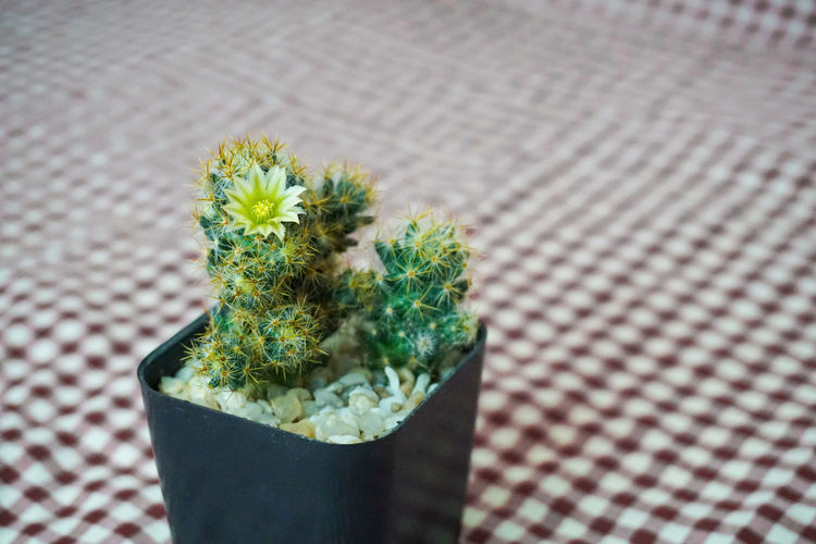 Small cactus whit flower in black plastic pot