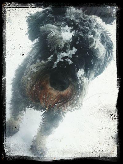 Snowy Ilovemyrescue