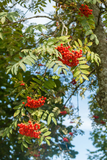 Rowanberry, Russia, Polenovo Autumn Bekhovo Green Red Rowanberry Russia Russia. Polenovo Tula Oblast Beauty In Nature Berry Fruit Day Foliage Green Color Leaf Low Angle View Nature No People Oka Outdoors Polenovo Red Rowan Tree Rowanberry Tree