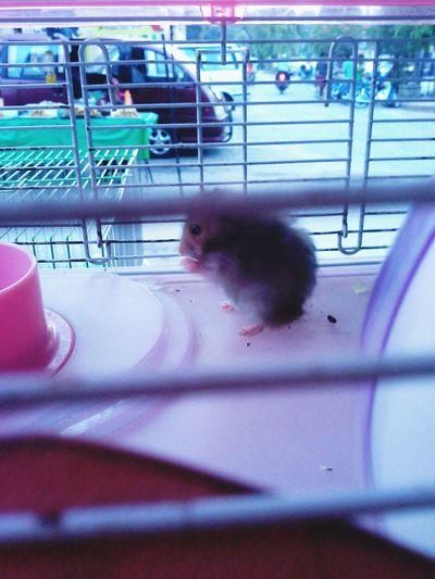 hamster ....