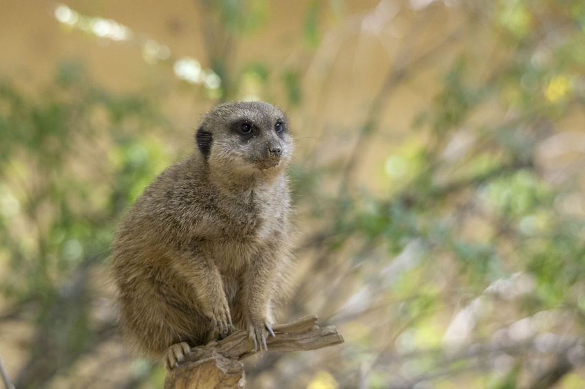 Animal Wildlife One Animal Animals In The Wild Mammal Meerkat Portrait No People Vertebrate Looking At Camera Nature Day Focus On Foreground Standing Outdoors Looking Alertness Plant